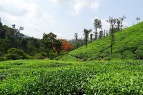 panorama of a tea plantation in the province of Karnataka