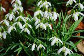 snowdrops are a sign of spring