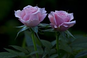 two pink roses on a bush