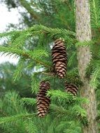 brown cones on an evergreen tree