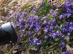 bright blue violets for a photo shoot