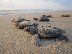 Sea turtles on the sandy beach