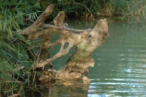 snag in the shape of a deer head in a pond