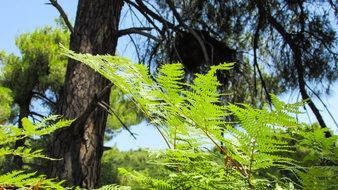 fresh green Fern
