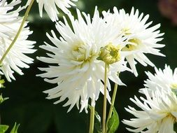 white dahlias are summer flowers