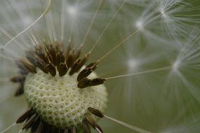 dandelion seeds on a stem close up