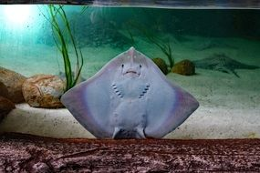 Sting Ray Flat Fish