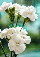 White carnation flowers in nature