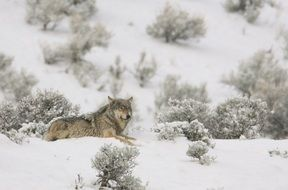 Landscape of Wolf in the wildlife