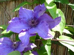 Beautiful blooming Clematis flowers in the garden