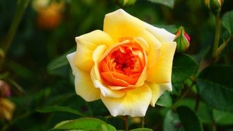 Colorful romantic rose flower in the garden