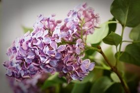 Purple Lilac Syringa Bush
