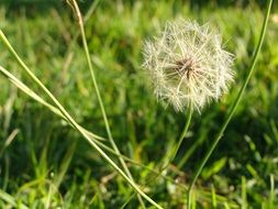 lonely fluffy dandelion on a green field