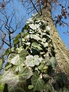 green ivy on a tree trunk