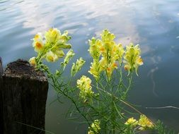 yellow blooming wild snapdragon
