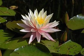 tender white water lily aquatic plant blossom