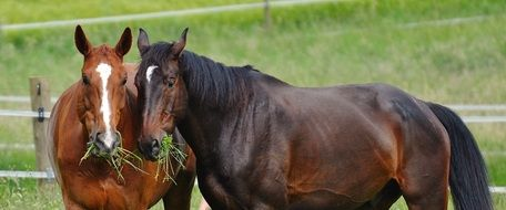 Two thoroughbred horses are munching grass