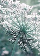 Wild Carrots Inflorescence, bottom view, macro
