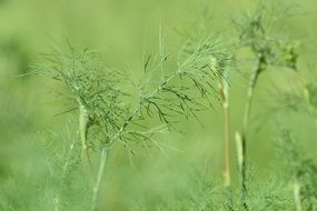 dill leaves on green background