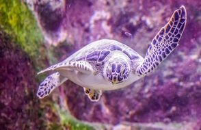 sea turtle in the underwater world of the tropics