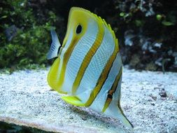 yellow fish with white stripes aquarium underwater nature