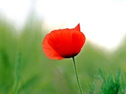 red poppy on a green blurred background