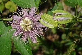 stunningly beautiful Passion Flower