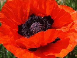 Poppy Flower Red Flower Orange
