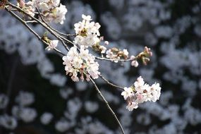 white flowering of a cherry on a branch close-up