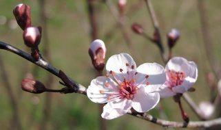 white flowers with pink stamens on a cherry tree