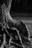 thick tree roots black and white photo