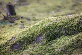 green moss in the forest close-up on blurred background