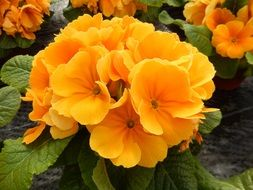 beautiful Spring Primrose