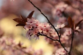 Spring garden, cherry in bloom