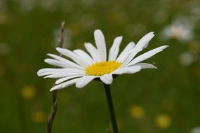 white daisy on a background of green meadow