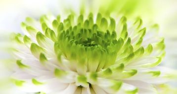 chrysanthemum with white-green petals close-up
