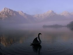 swan in a foggy mountain lake