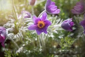 pasque flower bloom