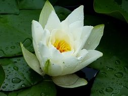 white Water Lily with rain drops