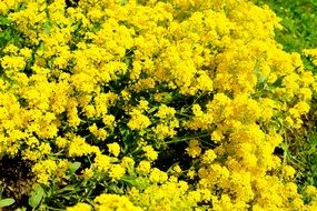 many yellow bright flowers