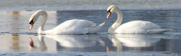 two white swans on a blue lake