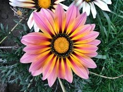 colorful flower of the Asteraceae family