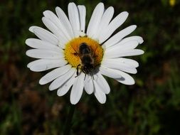 fly on the core of a white daisy