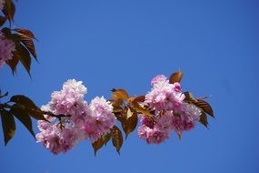 flowering branch of japanese cherry on a clear sunny day