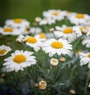 many white daisies close-up