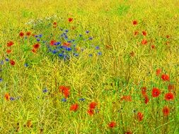 cornflowers and Poppies on Meadow
