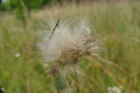 fluffy flying seeds over a summer meadow