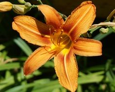 orange blooming lily in the greenhouse