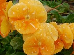 raindrops on yellow violet