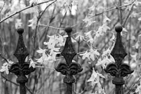 forged fence near flower plants in black and white image